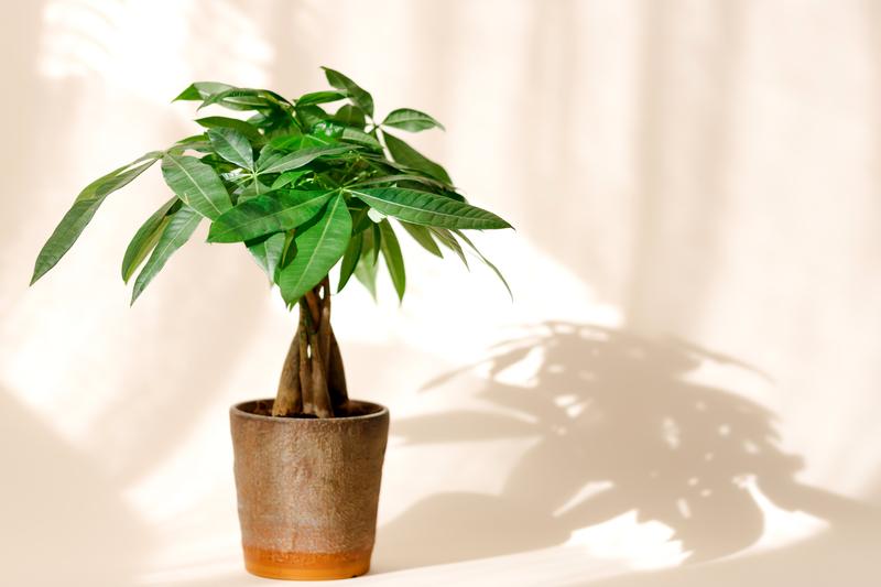 how do you take care of a money tree plant