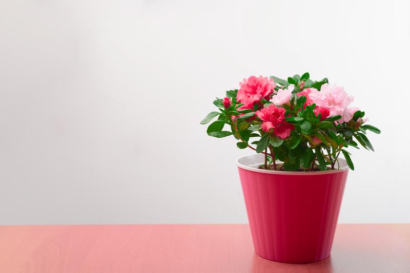 how do you take care of a potted azalea