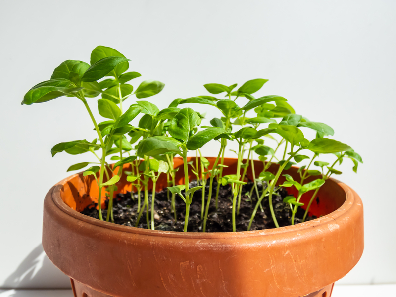 how to take care of a basil plant