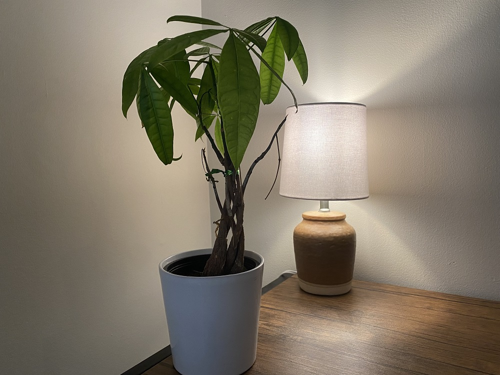 how to take of a money tree plant