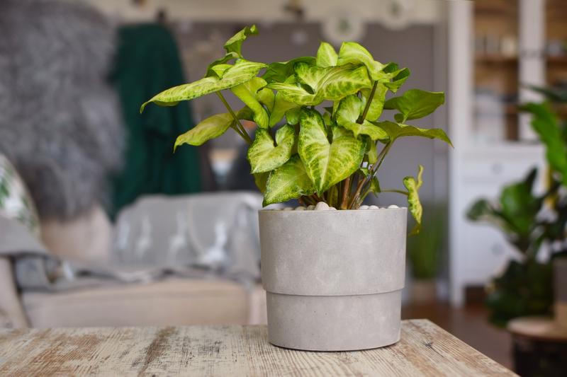 Can an Arrowhead Plant Be Used as a Houseplant