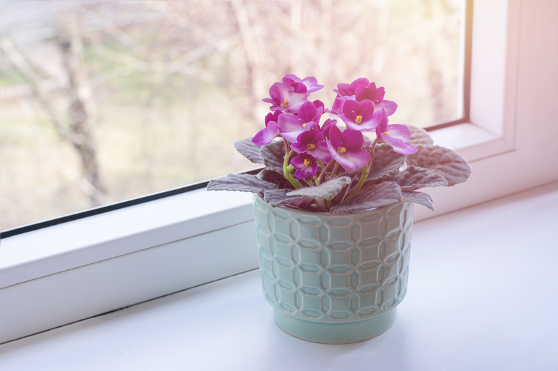 Do African Violets Need Direct Sunlight