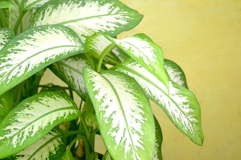 How Do You Keep an Arrowhead Plant Bushy