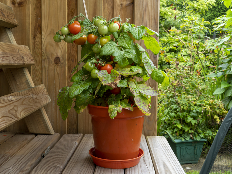 How To Take Care of a Tomato Plant