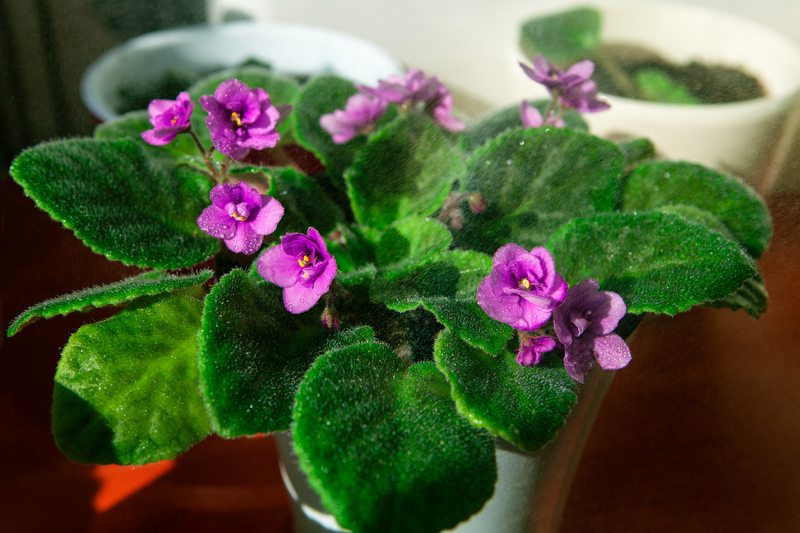 How to Take Care of an African Violet Plant