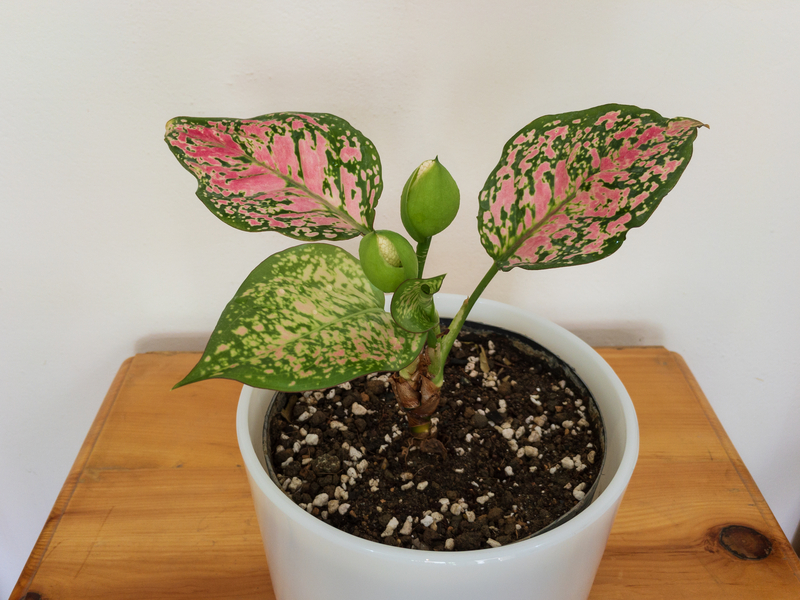 How to Take Care of an Aglaonema Plant