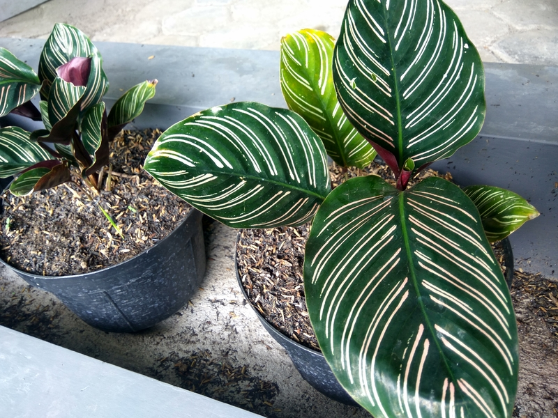 how do you take care of an aglaonema plant effectively