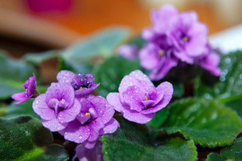 how much should you water an african violet