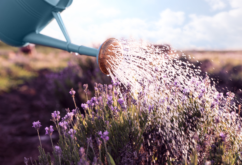 how much water does a lavender plant need