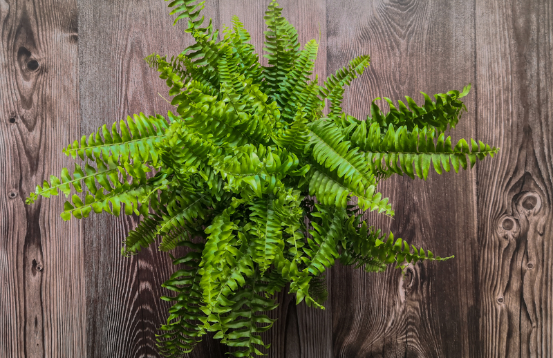 How to Take Care of a Boston Fern