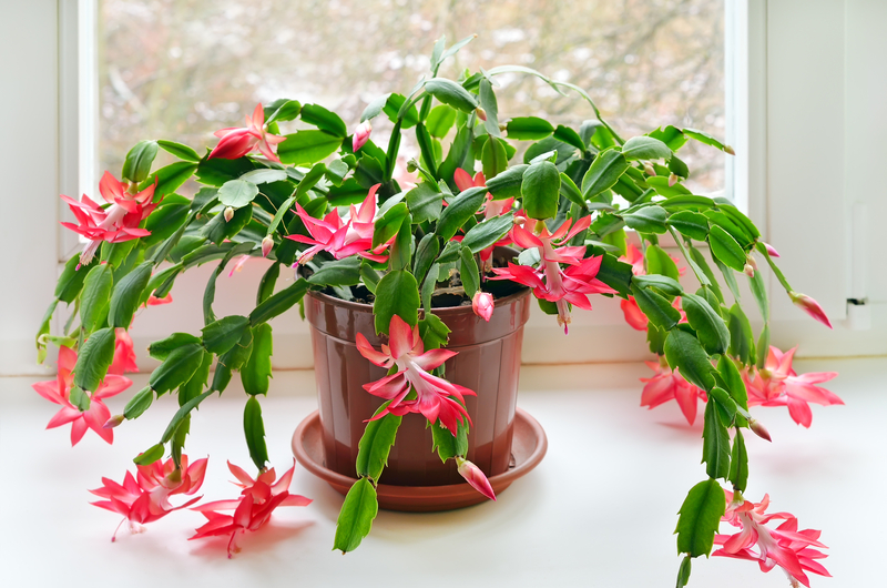 How to Take Care of a Christmas Cactus