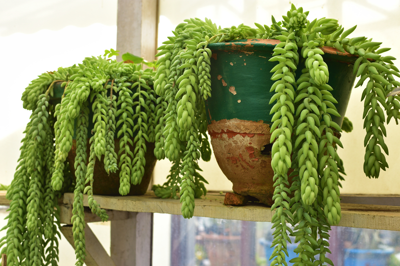 What Environment Works Best for a Donkey Tail Plant