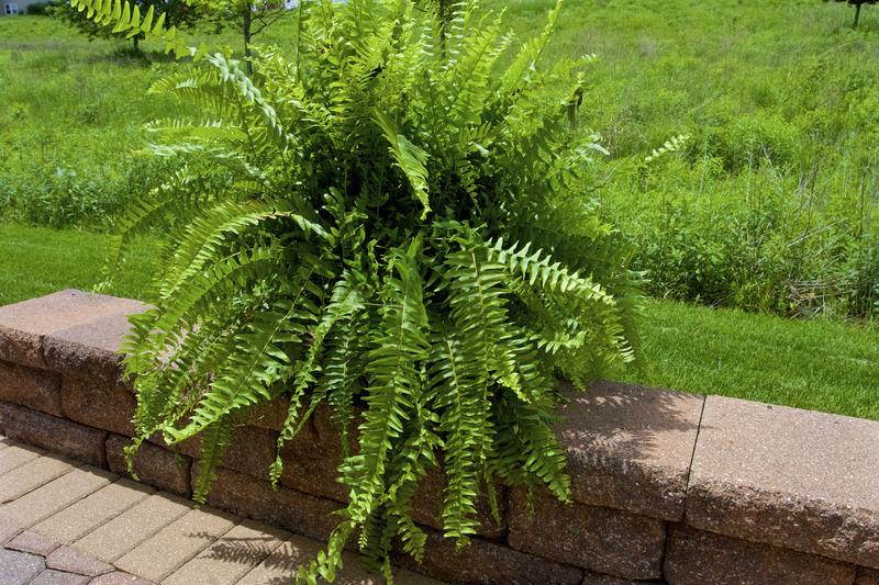 average size of a boston fern