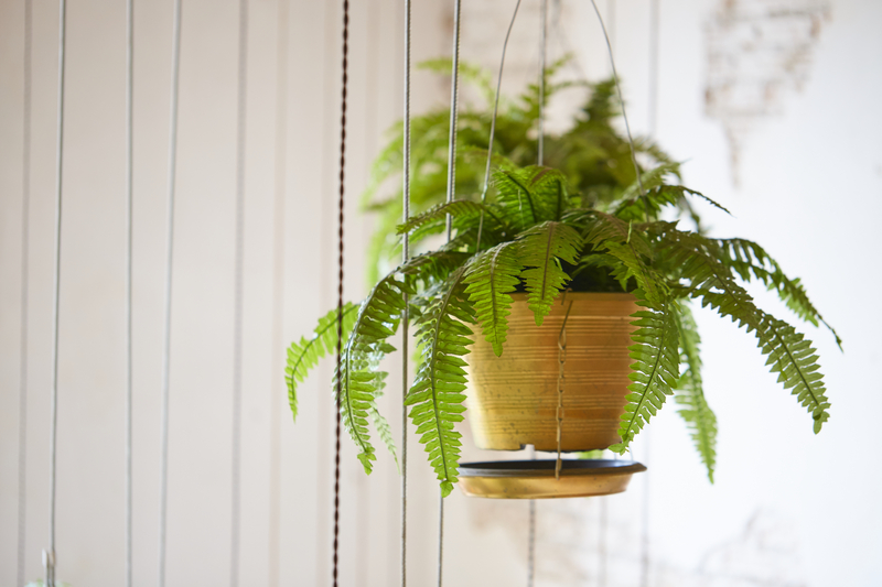 how much sun does a boston fern need