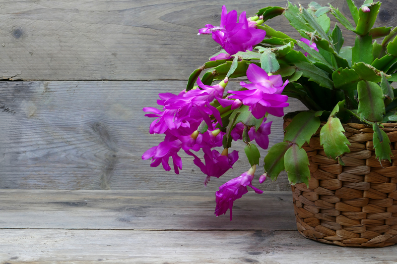 how much sun does a christmas cactus need