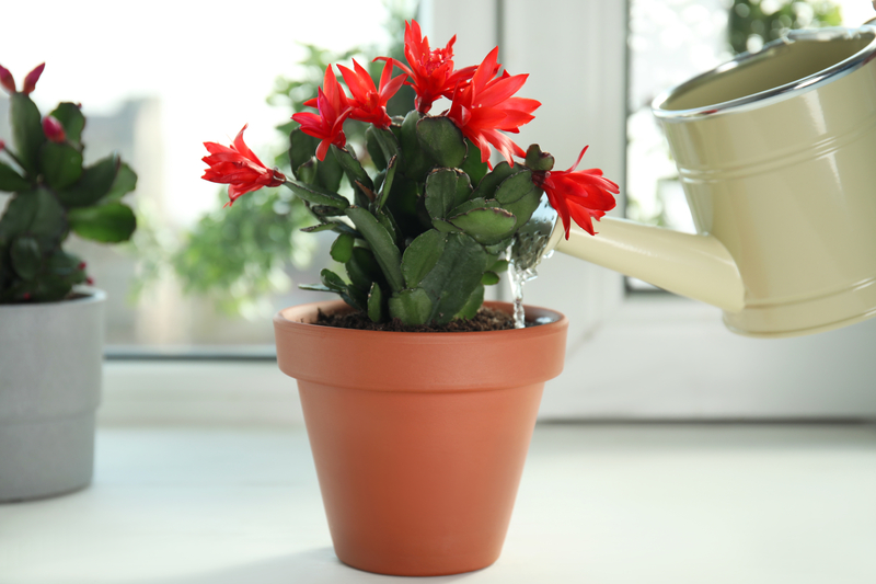 how often do you need to water a christmas cactus