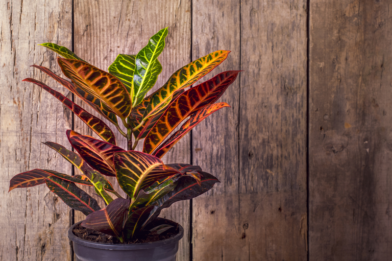 how to take care of a croton plant