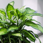 how to take care of a dumb cane plant