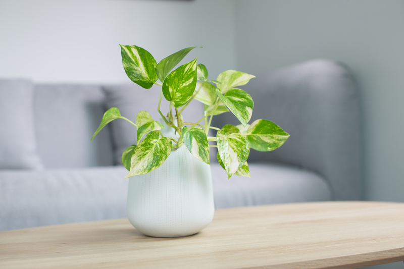 how to take care of a pothos plant